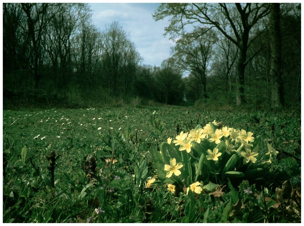 Primrose Path by Rose King (One of my first successes, circa 1983, colour slide, Monks Wood Nature Reserve, Cambridgeshire.)