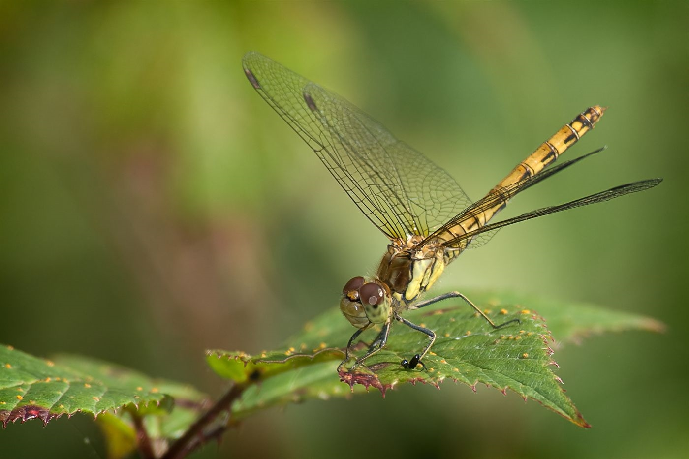 Sympetrum striolatum (Common Darter) female by Steffan Nicholson