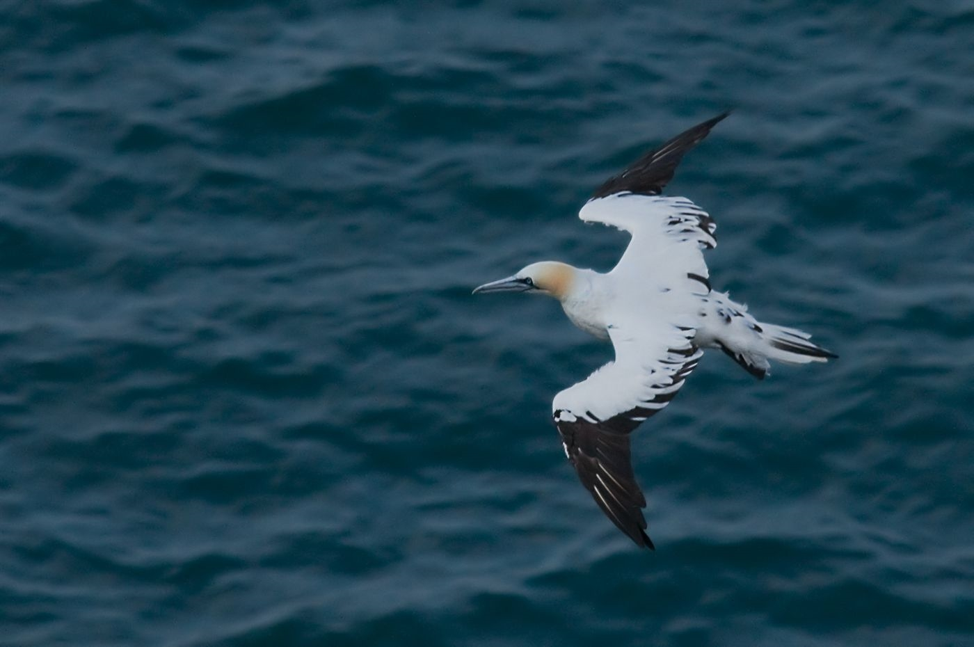 Third Summer Morus bassanus (Northern Gannet) by Steffan Nicholson