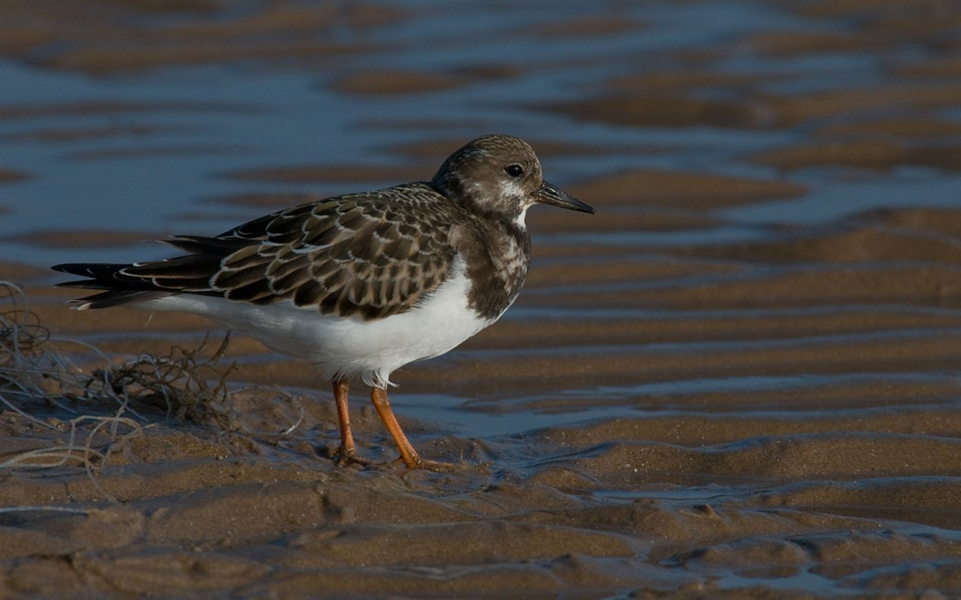 Arenaria interpres (Turnstone) with discarded fishing line by Steffan Nicholson