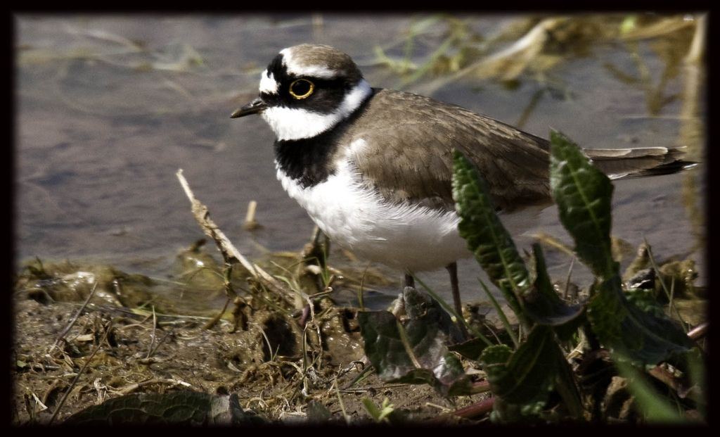 Little Ringed Plover by Adrian Watson