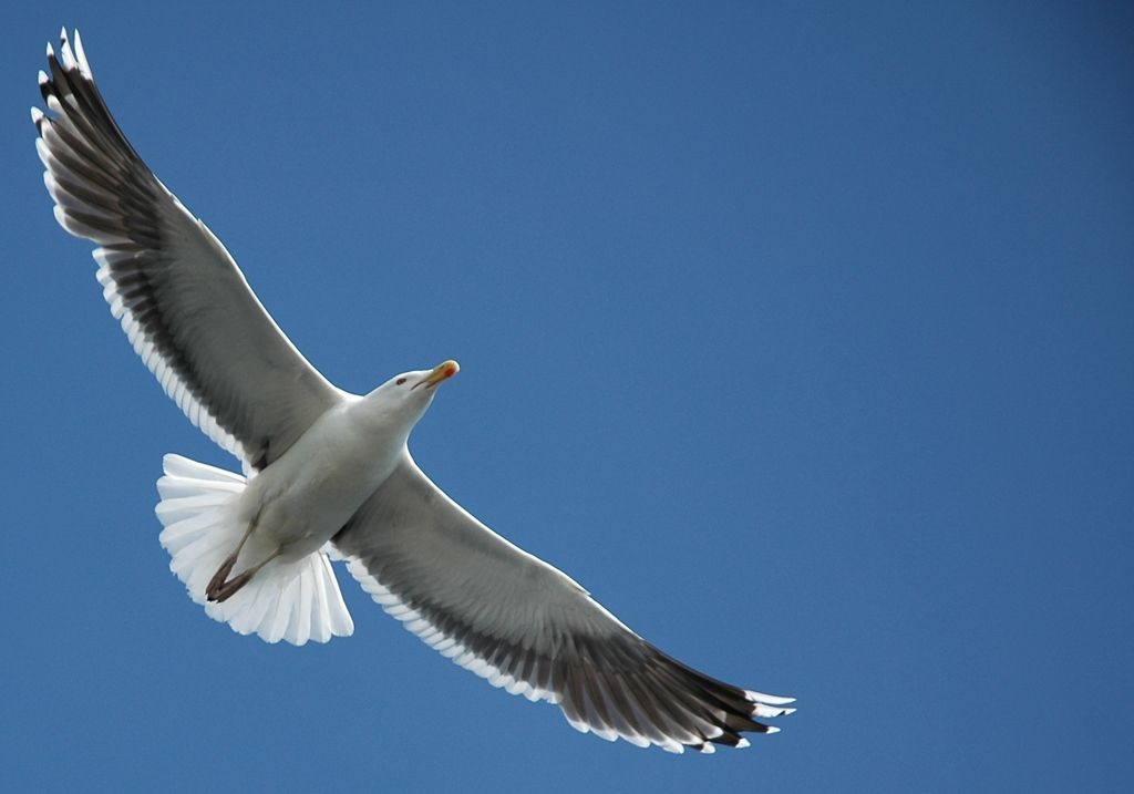 Great Black-Backed Gull (Larus marinus) in Flight by Steffan Nicholson