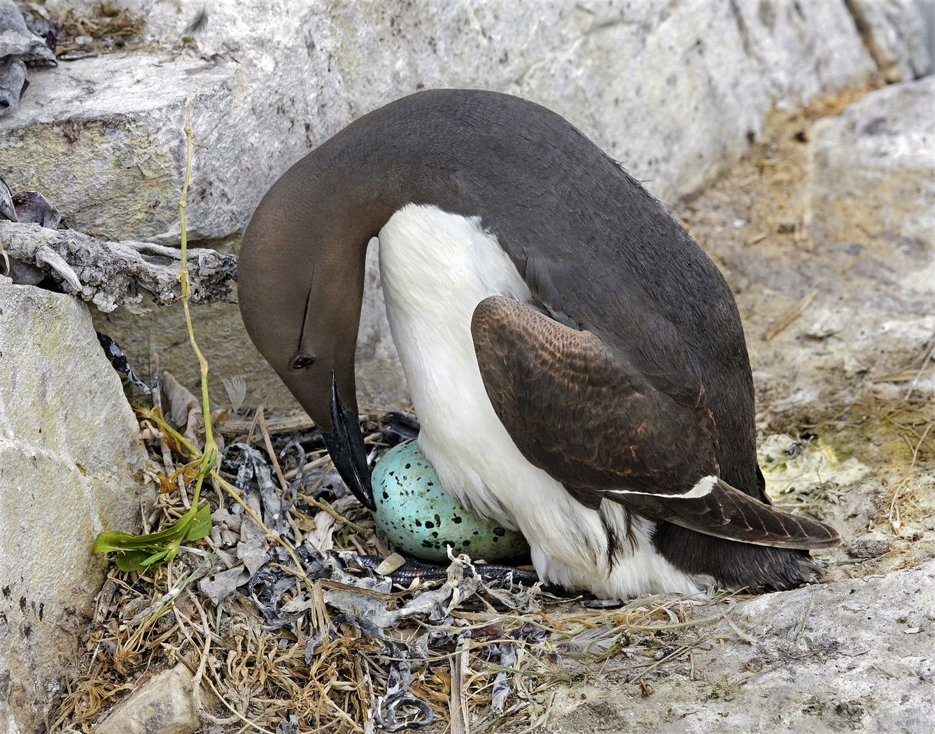 Guillemot by Peter Sharman