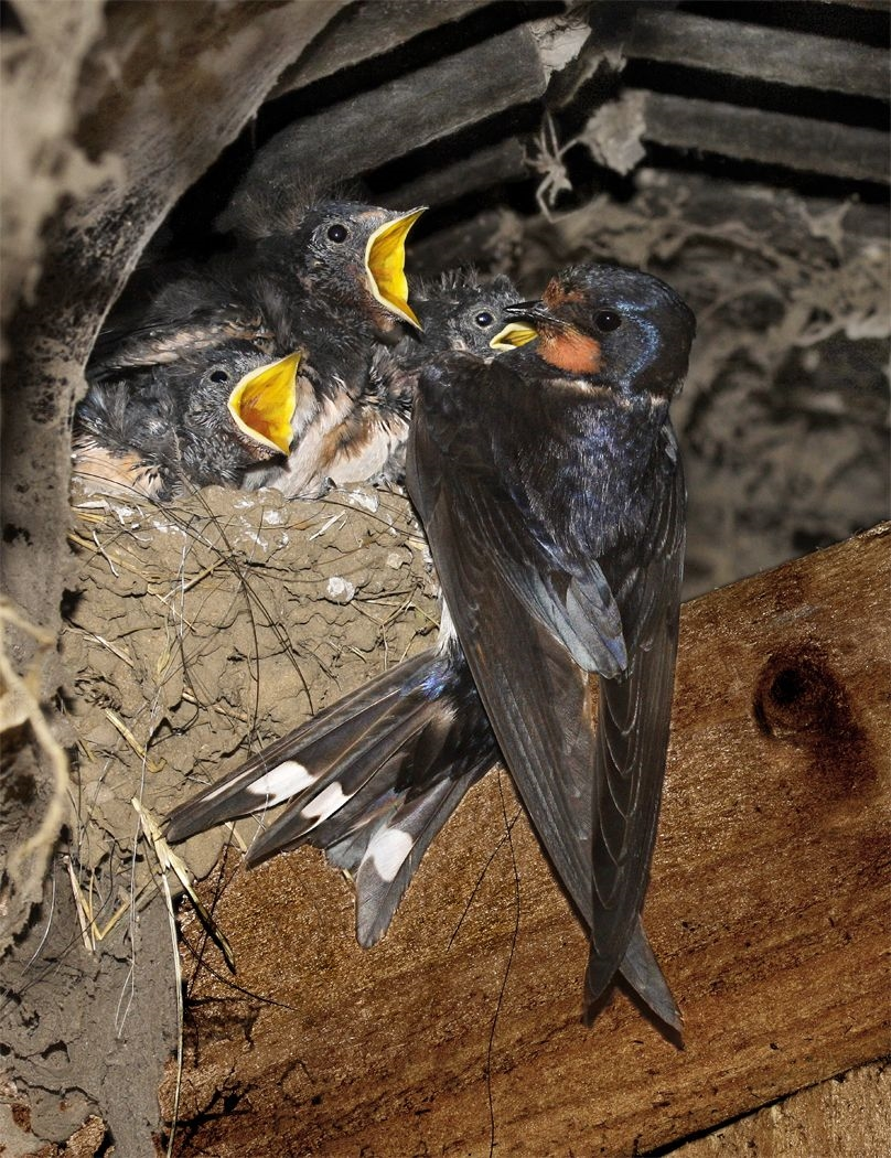 Swallows at Nest by Peter Sharman